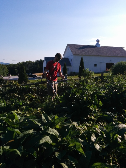 Dana whacking back the Comfrey, perhaps next year we'll grow vegetables?!